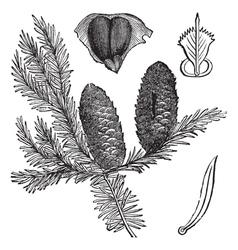 Balsam fir vintage engraving vector image