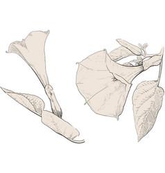 datura stramonium flower vector image