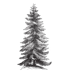 Norway Spruce vintage engraving vector