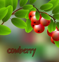 Red juicy sweet cowberry on a branch for your vector