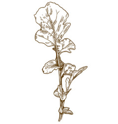 engraving of arugula rocket salad vector image