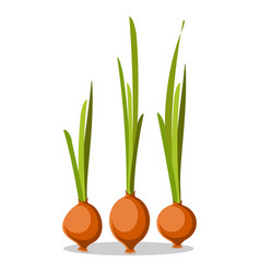 Three old onions with long green leaves poster vector