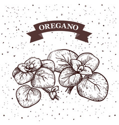 Oregano herb and spice label engraving vector
