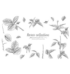 set of hand drawn sketch roses lives and branches vector image