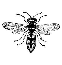 Old wasp engraving vector