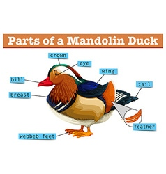 Different parts of Mandolin duck vector