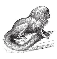 Tamarin vintage engraving vector image vector image