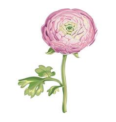 Beautiful gentle pink peony flower isolated vector