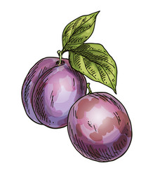 two purple plums full color realistic sketch vector image