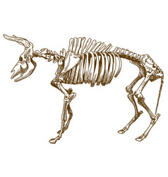 engraving of aurochs vector image