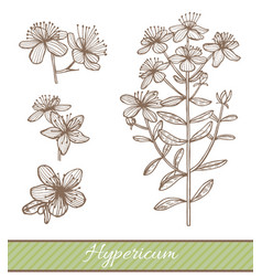 hypericum in hand drawn style vector image