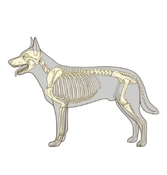 Dog skeleton veterinary vector image