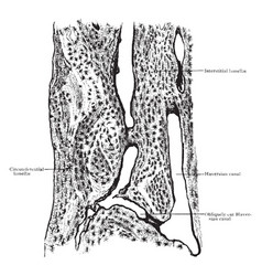 Longitudinal section of compact bone vintage vector