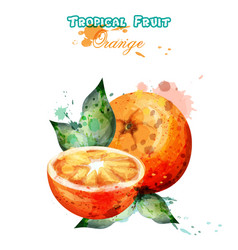 orange fruit watercolor juicy colorful vector image