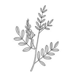 Drawing licorice root vector