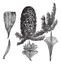 Noble Fir vintage engraving vector image vector image