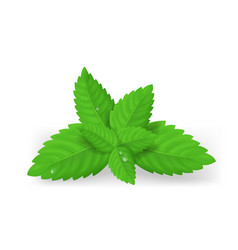 realistic detailed fresh green mint leaves vector image