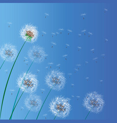 spring background with white dandelions dandelion vector image