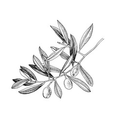 hand drawn olive tree branch vector image