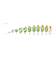 Sunflower plant helianthus annuus growth stages vector