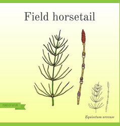 field horsetail equisetum arvense vector image