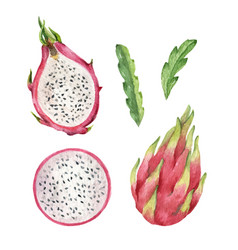 Watercolor hand pink painted dragon fruit vector