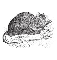 Vintage Brown rat Sketch vector image vector image