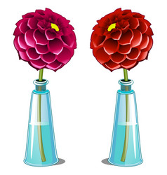 pink and red blooming dahlia in glass vase vector image