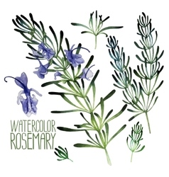 Watercolor rosemary set vector
