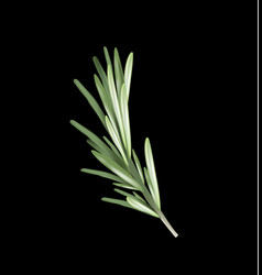 Rosemary herb and spice on a black background vector