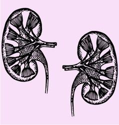 Cross section human kidneys vector