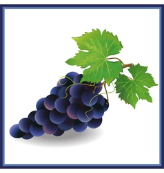Realistic black grape with green leaves vector