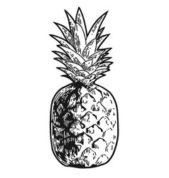 pineapple engraved sketch vector image