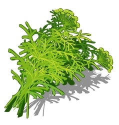 Bunch of dill on white background food concept vector image