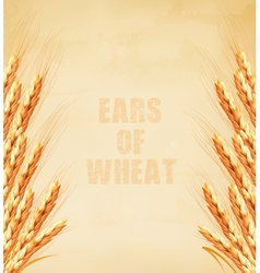Ears of wheat on old paper background vector image vector image