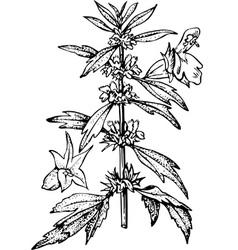 plant leonurus vector image vector image