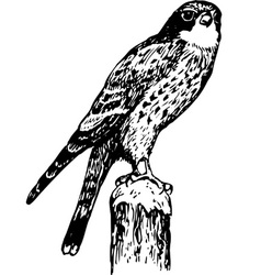 Bird cerchneis tinnunculus vector