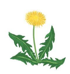 drawing dandelion flower vector image