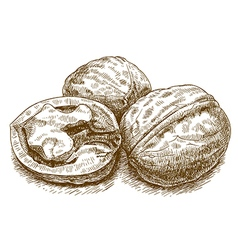 engraving walnut vector image