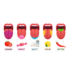 Tongue taste areas sweet bitter and salty tastes vector
