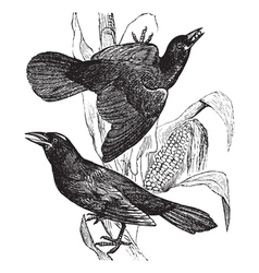 Vintage grackle Sketch vector image