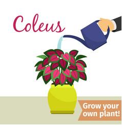 hand watering coleus plant vector image
