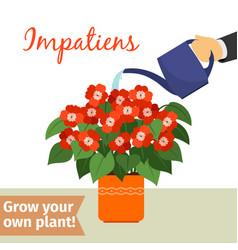 hand watering impatiens plant vector image