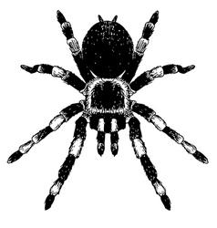 Spider 2 vector