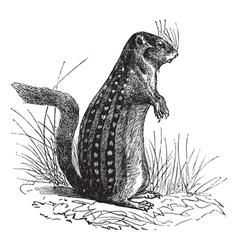 Vintage ground squirrel Sketch vector image