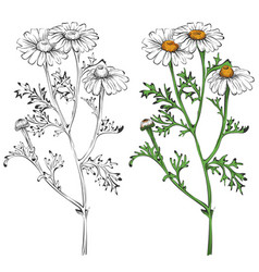 chamomile silhouette and colorful isolated on vector image