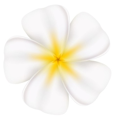 Beautiful frangipani vector