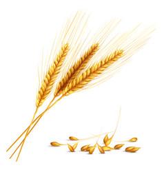 barley grain vector image