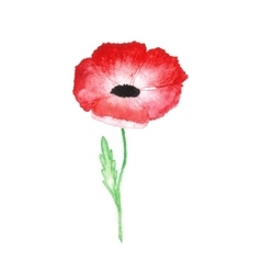 water color red poppy isolated on white background vector image