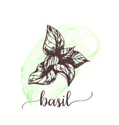 Basil sketch on watercolor paint hand drawn ink vector